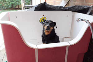 well behaved rottweiler sitting in the bath waiting to be bathed